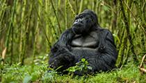 Track Mountain Gorillas, Rwanda