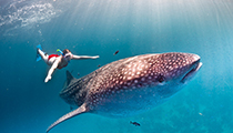 Snorkel with Whale Sharks, Djibouti