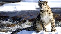 Encounter Snow Leopards inLadakh, India