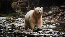 Charter a Floatplane to the Spirit Bears, British Columbia, Canada