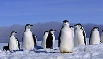Visit the Chinstrap Penguin Colony, Zavodovski Island, British Territory