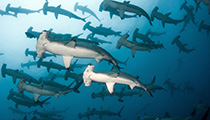 Scuba Dive with Hammerheads, GalapagosIslands, Ecuador
